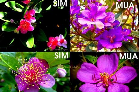 Cách phân biệt hoa sim và hoa mua
